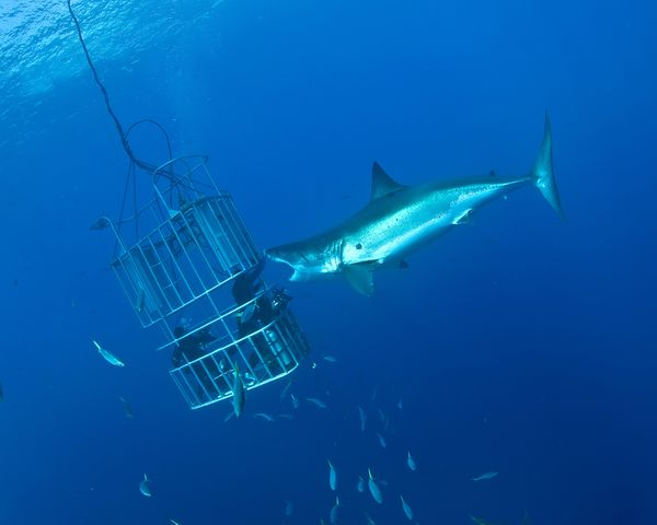 Are divers tempting fate with guadalupe island white for Guadalupe island fishing