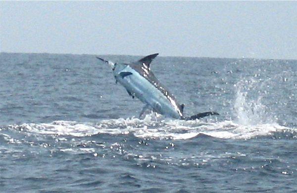 Black Marlin (2)