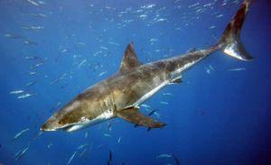 Shark3seib