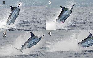 Marlin3