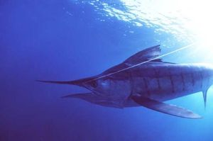 Marlin1-1