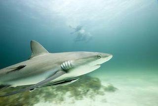 Shark4Calver