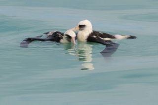 Water-logged albatrosses