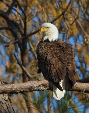 Female eagle 2 by dn
