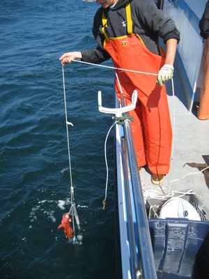 Descending devices, such as the one pictured, can be used to help deepwater rockfishes to successfully return to depth.