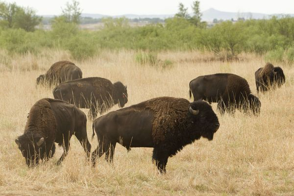 Remnants of the great Southern Plains bison herd enjoy their new 700-acre expanded range of restored native prairie at Texas' Caprock Canyons State Park