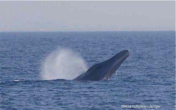 Blue whale 2