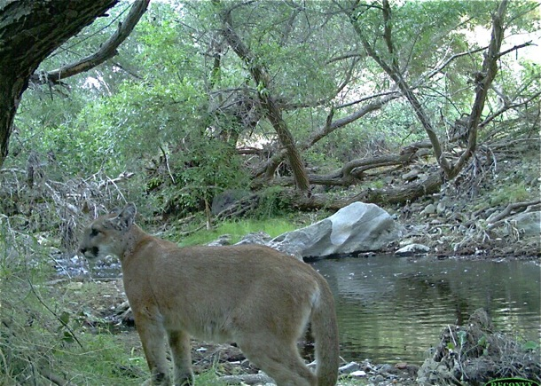 P-18 captured on remote camera shortly after becoming independent from his mother_NPS photo