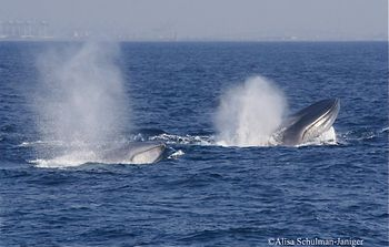 Blue whales 3