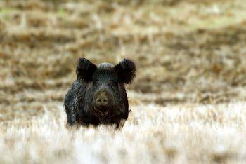 Wild pig in a field.