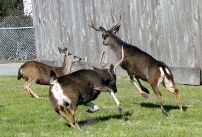 Deer_monterey-peninsula