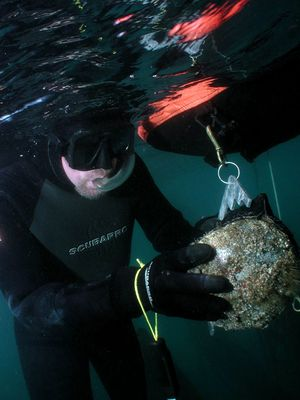 Diver measuring abalone with fixed-caliper measuring gauge.