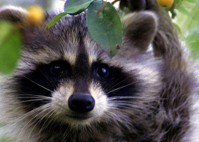 Raccoon-face_usfws