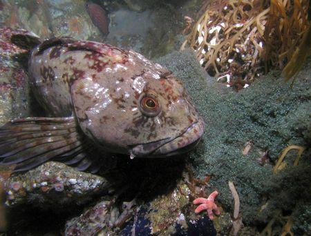 Lingcod-guarding-nest_melyash3