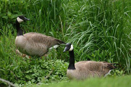 Canada-geese_udwr