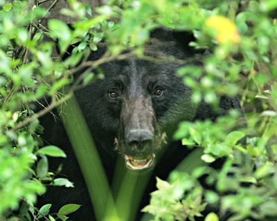 Black-bear-face_usfws1
