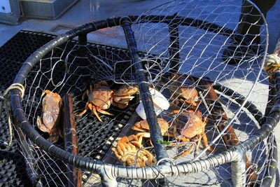 Dungeness-crab-trap2