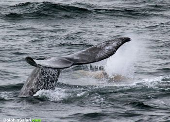 March 28 gray whale fluke with entangled calf behind it copyright DolphinSafari-1