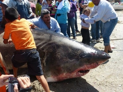 great white shark catches on the rise in sea of cortez pete thomas