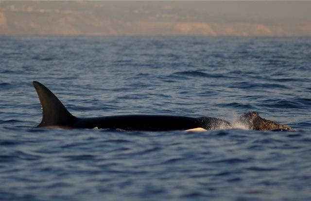 Orcaattack