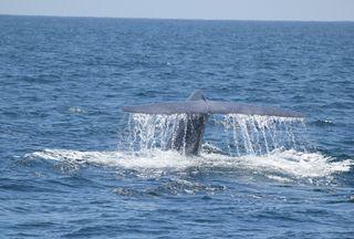 Bluewhaleflukedolphinsafary