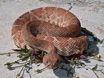 Rattlesnake_dfg