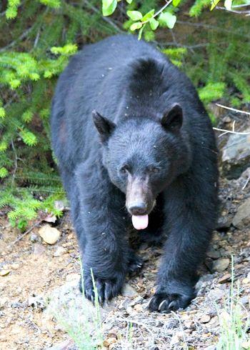 Black-bear-lick_cwilson1