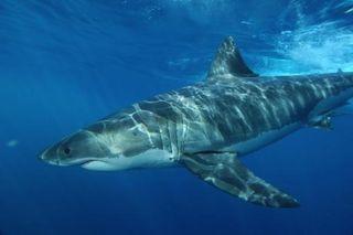 White shark 1-1