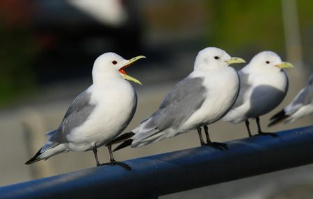 Gulls_2279