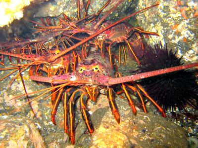 Spiny-lobster_derek-stein