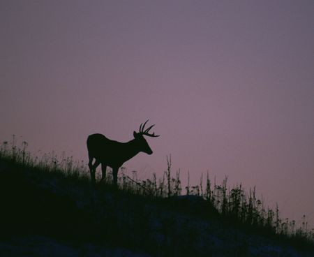 White-Tail-Deer