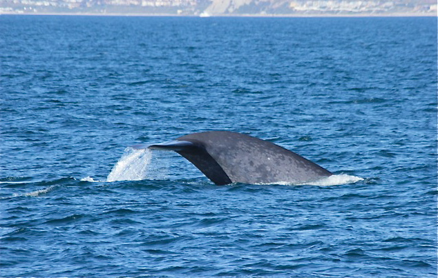 BLUEWHALES022413 001