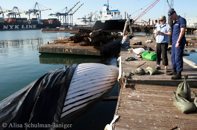 7-FIN WHALE SHIP STRIKE-2013Feb27-ASchulmanJaniger-IMG_0428-c1-scr