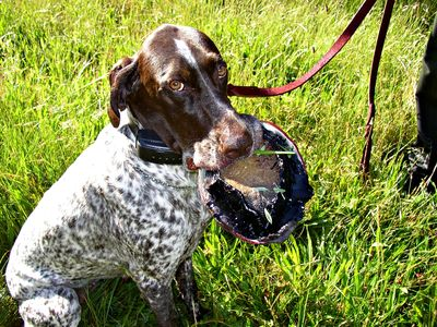 CDFW K-9 detection dog Coco with a seized poached abalone