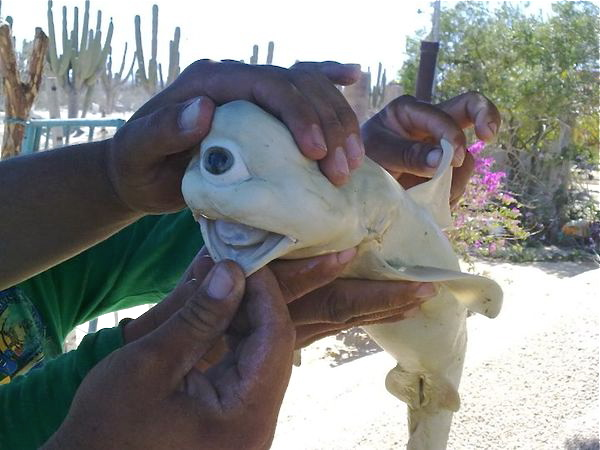 One-eyed shark