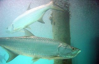 Atlantic_tarpon