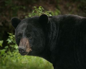 Black-bear_fws4