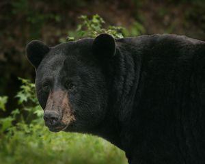 Black-bear_fws4