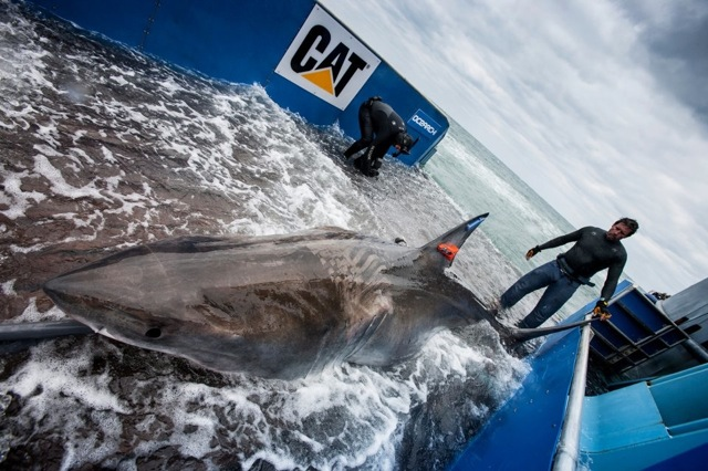 Scientists tag 2,000-pound great white shark off popular Jacksonville, Fla., surf spot - Outdoors, action and adventure