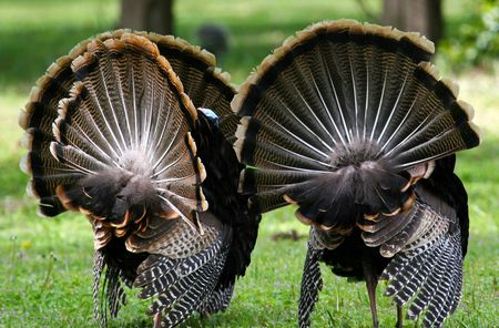 Turkeys_carrie-wilson_03741