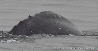 Namibia gray whale 3