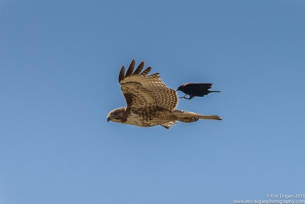 Sonoma Landing On A Raptor