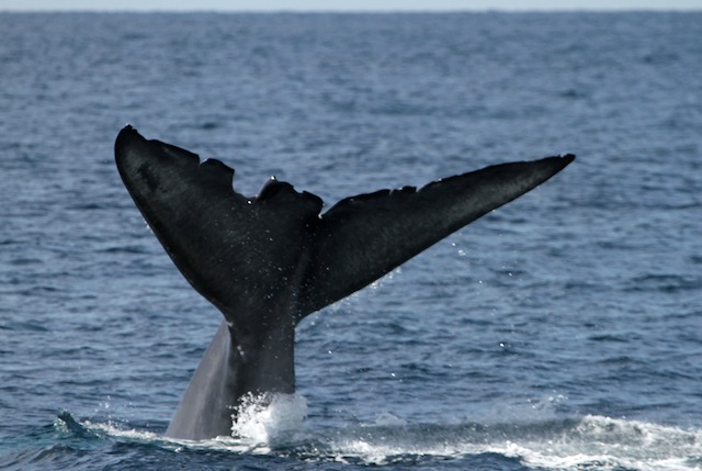 Wedge blue whale 076_edited-1