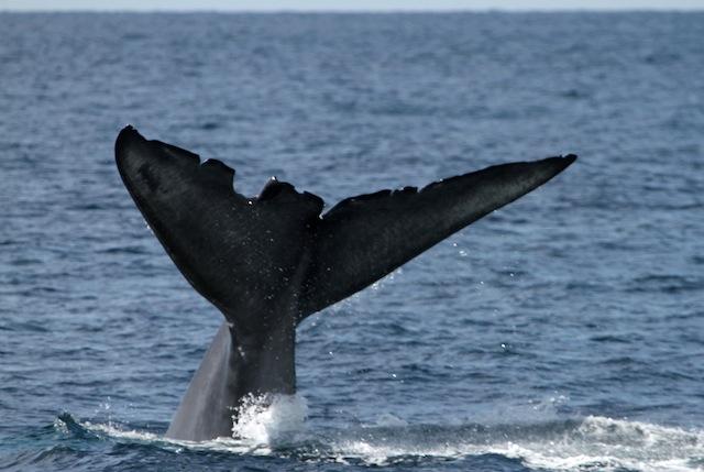 Wedge blue whale 076_edited-1