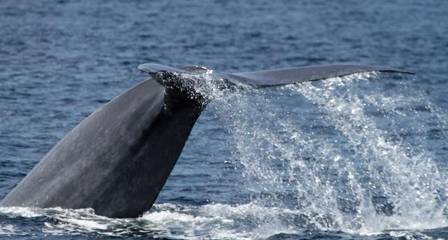 Wedge blue whale 069_edited-1