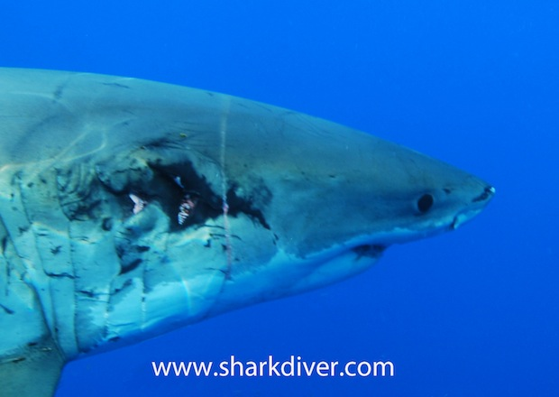 a78f91ed0cae Wounded great white shark surprises divers with remarkable healing ...