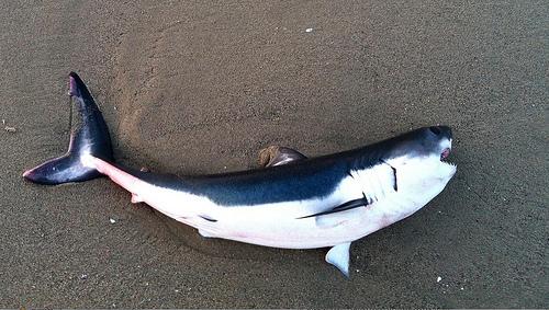 Salmonshark1