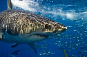 Guadalupe shark