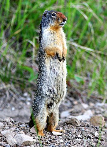 Ground_squirrel_carrie-wilson1