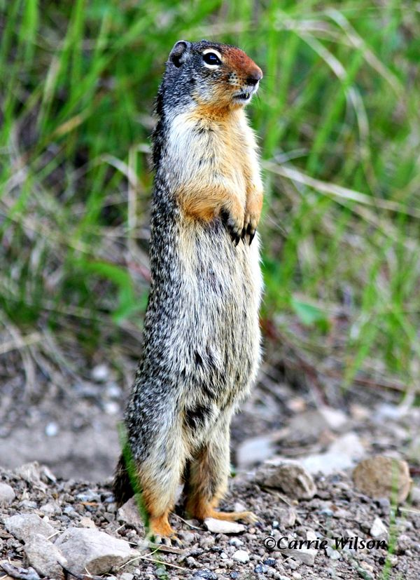 Any Health Dangers Associated With Eating Ground Squirrels Pete Thomas Outdoors
